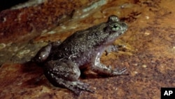 FILE - A female Gastic Brooding frog.