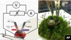 Snail experiment at Laboratory of Professor Katz, Clarkson University