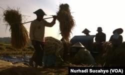 Sebagian wilayah di Jawa Tengah dan DIY mulai panen padi menjelang panen raya Februari-Maret mendatang. (VOA/Nurhadi Sucahyo)