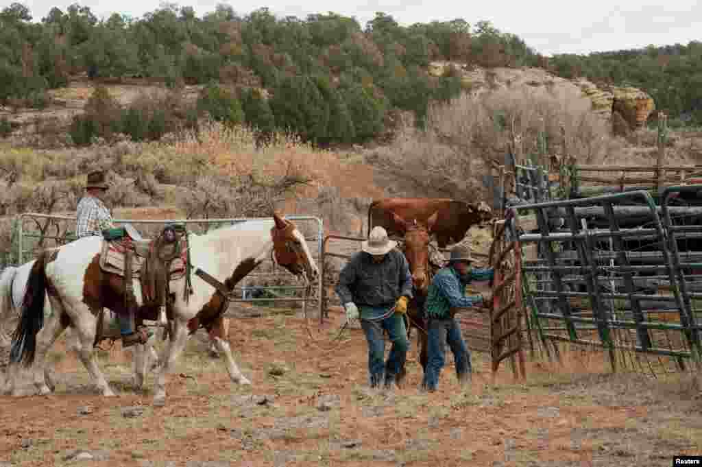Para peternak menutup gerbang setelah mengumpulkan ternaknya dekat Monticello, Utah, 31 Oktober 2017.