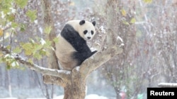 A giant panda sits on a tree during the first snow in Jinan, Shandong province, November 24, 2015.