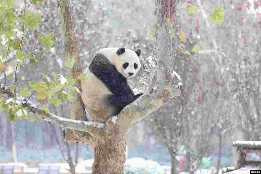 Xayawaanka loo yaqaan Panda oo dul fadhiya geed, xilli barafkii ugu horeeyey uu ka da'ay magaalada Jinan ee gobolka Shandong ee dalka China.