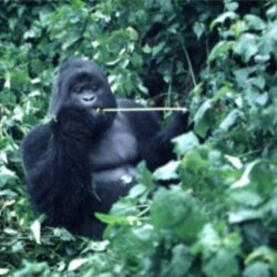 A mountain gorilla sits in the Congo jungle in this 1997 photo
