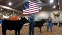 Two heifers at the Pennsylvania Farm Show
