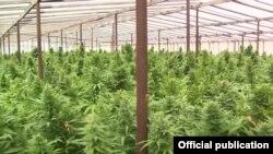 Narkotik bitki plantasiyası