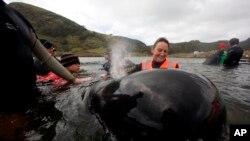 Voluntaria lleva una ballena a un arroyo cercano para descansar mientras se decide cómo se intentarán liberar en masa en Strand Bay en el extremo norte de Nueva Zelanda.