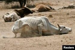 Beela Afrikaa haga guddaan harka namaatu fide jedhan hayyootii.: Horin kahuu dadadhabe kun Laga Athi Naayroobii,Keenyaa. Fulbaan 16, 2009. REUTERS/Thomas Mukoya/File Photo -1