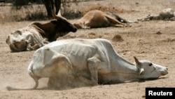 Une vache essayant de se tenir débout pour marcher, Kenya le 16 Septembre 2009 REUTERS/Thomas Mukoya/File Photo -