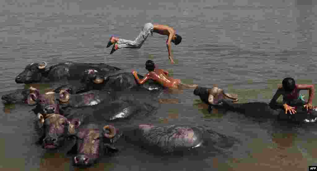 Indian youths play in the water with their herd of buffaloes in the Tawi River on a hot day on the outskirts of Jammu.