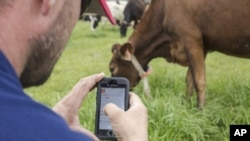 "In this undated photo provided by Google, a person uses a phone to monitor a cow's IDA, or ""The Intelligent Dairy Farmer's Assistant,"" device in a pasture on Seven Oaks Dairy in Waynesboro, Ga. (Ben Sellon/Google via AP)"