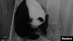 华盛顿史密森国家动物园大熊猫摄像机拍下的大熊猫美香。(2015年8月22日)