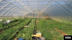Greenhouse yaAmai Tanyaradzwa Doka-Spandla