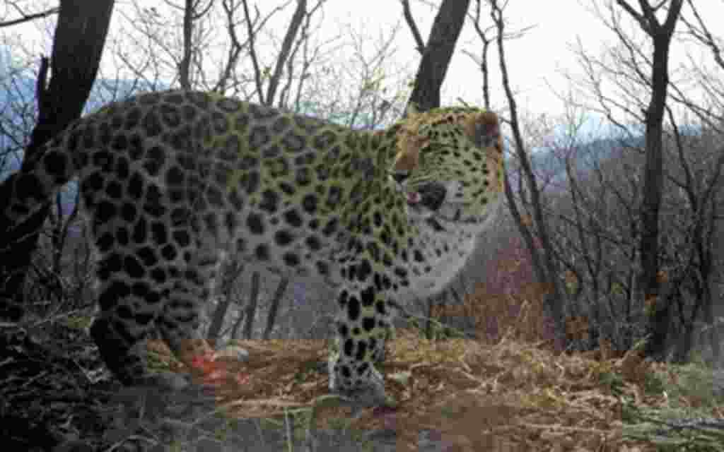 Se cree que el leopardo Amur podría salvarse de la extinción si se implementas políticas de conservación.