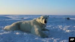 Un ours polaire portant un collier de caméra vidéo GPS repose sur un morceau de glace de mer dans la mer de Beaufort, 15 avril 2015.