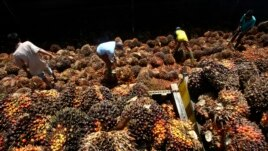 Workers sort palm fruits at a palm oil processing plant in Lebak, Indonesia, Tuesday, June 19, 2012. (AP Photo/Tatan Syuflana)