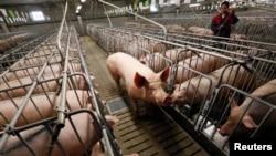 러시아 크라스노야르스크 시 인근의 돼지 사육시설 (자료사진)