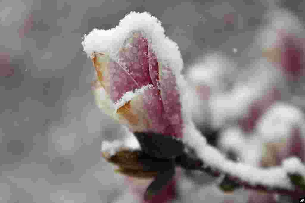 Flores em Washington cobertas pela neve de Primavera