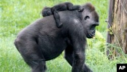 FILE - Moka, an endangered western lowland Gorilla, carries her unnamed 3-month-old baby on her back at the Pittsburgh Zoo and Aquarium in Pittsburgh, May 2, 2012.