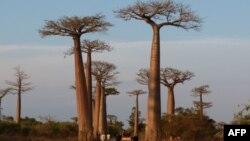 Des baobabs près de la capitale malgache Morondava, le 7 novembre 2011.
