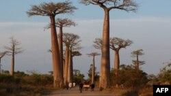 Baobabs in Madagascar, November 2011. AFP PHOTO / ALINE RANAIVOSON