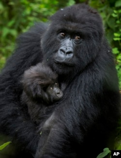 In this file photo from Friday, Sept. 4, 2015, a baby mountain gorilla is held by its mother in the forest in Volcanoes National Park, northern Rwanda. (AP Photo)