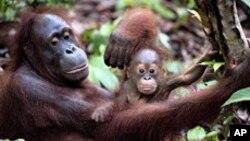 Orangutan yang telah direhabilitasi dan dilepaskan oleh Dr. Biruté Mary Galdikas, menggendong bayinya yang baru lahir di Taman Nasional Tanjung Puting. (Foto: Dok)