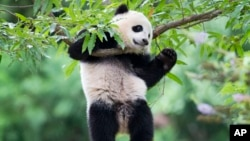 FILE - Panda cub Bao Bao hangs from a tree in her habitat at the National Zoo in Washington on her first birthday, Aug. 23, 2014.