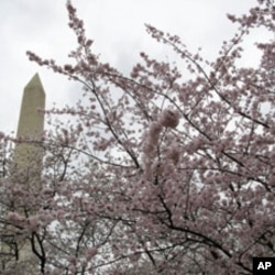 The two-week Cherry Blossom festival begins Saturday