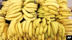 """World banana supplies are threatened by a disease known as """"Panama."""" (Associated Press File Photo)"""