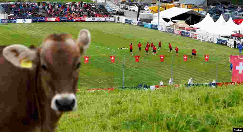 """Uma vaca """"assiste"""" ao treino da selecção da Suíça na cidade do centro do país, Weggis, Maio 26, 2014. A equipa prepara-se para o Mundial de Futebol que se realiza em 12 cidades do Brasil de 12 de Junho a 13 de Julho."""