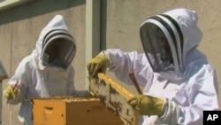 Na krovu hotela Fairmont Hotel u Washingtonu, kuhar Ian Bens i slastičar Aaron Weber brinu se za pčele i ubiru med