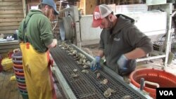 Rappahannock Oyster Company employees sort oysters from the Chesapeake Bay. (J. Swicord/VOA)
