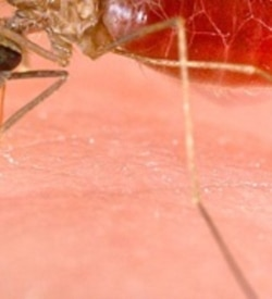 Anopheles is one of the mosquitoes that carries the malaria parasite