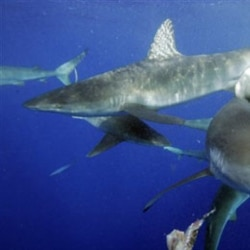 Sharks swimming in the Pacific Ocean about five kilometers from the coast of Hawaii