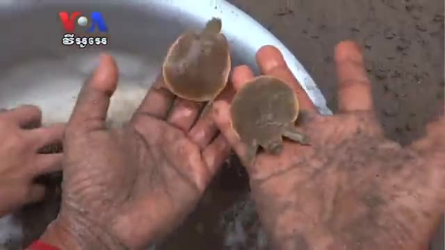 Groups Work To Protect Rare Frog-Headed Turtle