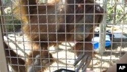 An orangutan works with an iPad at Jungle Island in Miami.