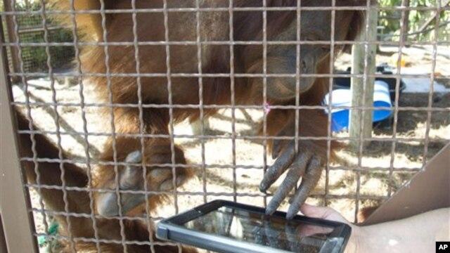 Menurut Richard Zimmerman, pendiri organisasi pelestarian orangutan, i-Pad bisa mengusir perasaan bosan orangutan di kebun binatang dan bisa membantu mengasah indra penglihatan, peraba, dan pendengaran binatang itu (foto: Dok).