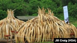 Ivory tusks are stacked to be burned in Nairobi National Park, Kenya, April 30, 2016. On Saturday, 105 tons of elephant ivory and more than 1 ton of rhino horn were destroyed in a bid to stamp out the illegal ivory trade.