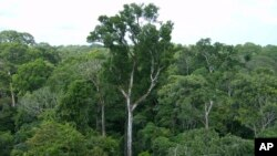 FILE - Old-growth Amazon tree canopy is seen in Tapajos National Forest, Brazil.