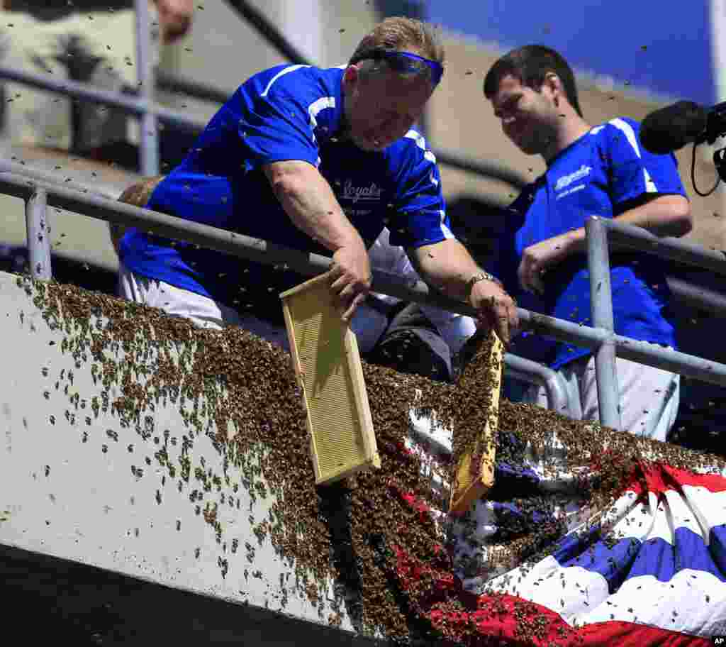 A ground crew member removes bees from bunting along the left field line before a baseball game between the Kansas City Royals and the Cleveland Indians at Kauffman Stadium in Kansas City, Missouri.