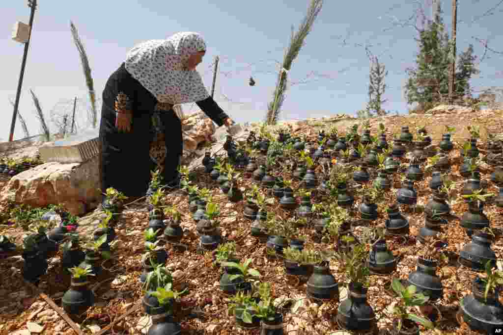 A Palestinian woman waters plants growing in tear gas canisters in the village of Bilin, near the West Bank city of Ramallah. The tear gas canisters were collected by Palestinians during years of clashes with Israeli security forces.