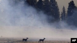 Two elk walk through smoke from a burnout fire as firefighters battle the Wallow Fire in the Apache-Sitgreaves National Forest, Ariz. The roughly 7,000 residents of two eastern Arizona towns evacuated last week, June 12, 2011