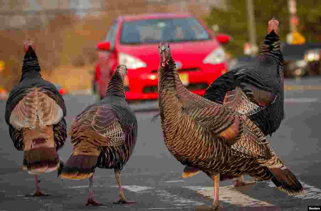 Wild turkeys cross a street on the eve of Thanksgiving in Staten Island, New York, Nov. 25, 2020.