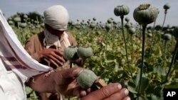 سال گذشته کشتزار های خشخاش افغانستان ۶۴۰۰ تریاک حاصل داد
