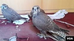 در حدود ۱۷۰ نوع پرنده در بند امیر ثبت شده است.