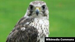De acuerdo con la organización BirdLife International, el halcón sacre se encuentra en peligro de extinción debido al rápido descenso de su población, sobre todo en Asia Central.