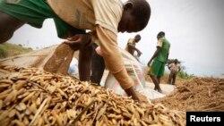 Des hommes procèdent à la récolte du riz dans un champ à Nanan, Yamoussoukro, Côte-d'Ivoire, le 27 septembre 2014.