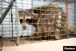 A raccoon sits in a cage before being taken to be released in the wild, in the loading dock of the UBS Plaza tower in St. Paul, Minnesota, June 13, 2018, in this image obtained from social media.