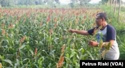 Romo Marcelinus Hardo Iswanto, CM, menunjukkan bulir sorgum yang siap panen, di pertanian organik Gubug Lazaris, Pare, Kediri. (Foto: VOA/Petrus Riski)