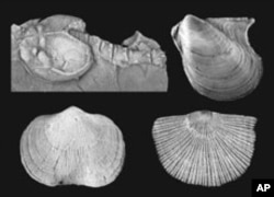 These small shelled marine animals were some of the most common inhabitants of the late Devonian period.